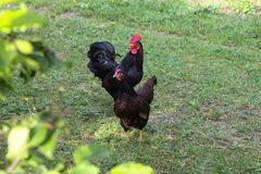 Chickens in garden. On a very sunny day in may in south germany you see chickens male and female in black and brown and grey color running around in green grass Stock Image