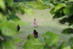 Chickens in garden. On a very sunny day in may in south germany you see chickens male and female in black and brown and grey color running around in green grass Stock Photo