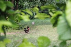 Chickens in garden. On a very sunny day in may in south germany you see chickens male and female in black and brown and grey color running around in green grass Stock Photos