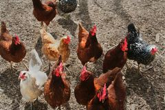 Chickens gather in a barnyard awaiting treats. Mixed group of chickens awaiting a treat of fruit in a barnyard Stock Photos