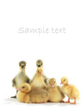Chickens goose Royalty Free Stock Photos