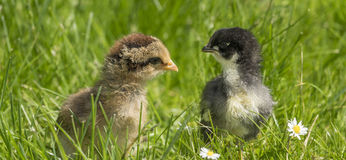 Chickens in a grass Stock Photo