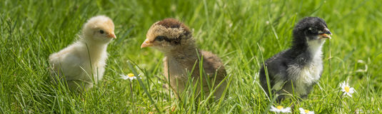 Chickens in grass. Cute chickens in the grass royalty free stock images