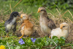 Chickens in a grass Royalty Free Stock Photos