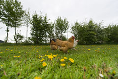 Chickens in grass Stock Images