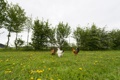 Chickens in grass Stock Photos