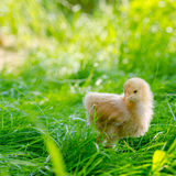 Chickens on a grass Stock Photos