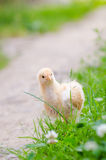 Chickens on a grass Stock Images