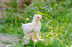 Chickens on a grass Stock Photography