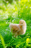 Chickens on a grass Royalty Free Stock Photo