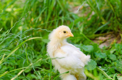 Chickens on a grass Stock Image