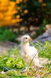 Chickens on a grass Stock Photo
