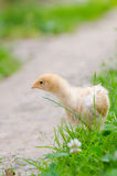 Chickens on a grass Royalty Free Stock Photography