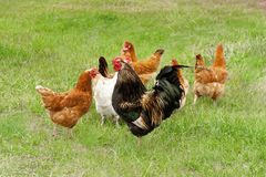 Chickens graze on grass Royalty Free Stock Photo