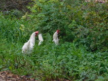 Chickens. Grazing in the middle of autumn Royalty Free Stock Images