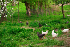 Chickens in green grass. Shallow DOF, focus on front chickens Stock Images