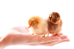 Chickens on the hand Royalty Free Stock Photo