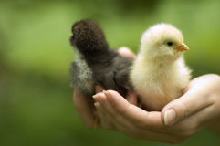 Chickens in hands Stock Photos