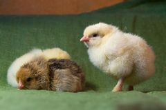 Chickens hatched in a home incubator a day ago,. Close-up royalty free stock image