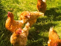 The chickens have fun. The chickens take advantage of the beautiful autumn weather Royalty Free Stock Images