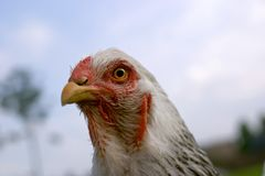 Chickens head Royalty Free Stock Photo
