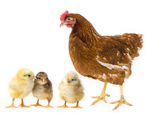 Chickens and hen Royalty Free Stock Images
