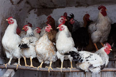 Chickens in henhouse Royalty Free Stock Image