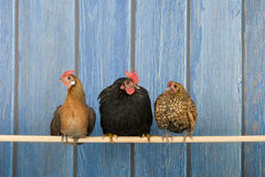 Chickens in henhouse Stock Photos