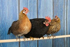 Chickens in henhouse. Row chickens in blue henhouse on stick Royalty Free Stock Photo