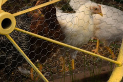 Chickens. In Henhouse With Yellow Wagon Wheel royalty free stock photos