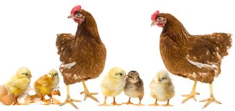 Chickens and hens. Isolated on white royalty free stock image