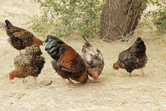 Chickens Royalty Free Stock Image