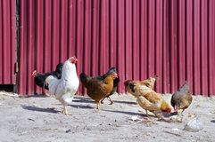 Chickens! Royalty Free Stock Photo
