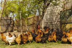 Chickens in a household somewhere in the country. In Romania Stock Photo