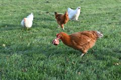 Chickens incoming to steal an apple royalty free stock photography