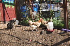 Chickens Inside a Coop in Guatemala. Chickens and hens walking around and feeding inside a coop behind a house stock image
