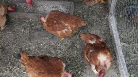 Chickens inside the hen house stock video footage
