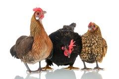 Chickens isolated over white background. Bantam chickens isolated over white background royalty free stock image