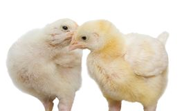 Chickens isolated on a white background. Agricultural sector stock image