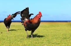 Chickens of Kauai Stock Image