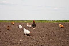 Chickens in the kitchen garden. Stock Photos