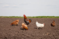 Chickens in the kitchen garden. Royalty Free Stock Photos