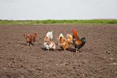 Chickens in the kitchen garden. Stock Image
