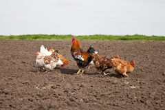 Chickens in the kitchen garden. Stock Images