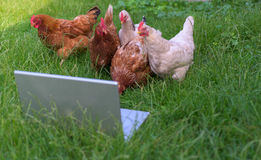 Chickens and laptop Royalty Free Stock Images