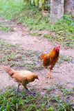 Chickens on a lawn. In the garden stock photos