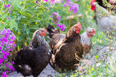 Chickens Laying hens on grass outdoors day Stock Image