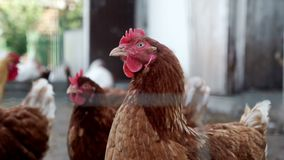Chickens looking at camera on livestock farm. Poultry farming. Bird farm