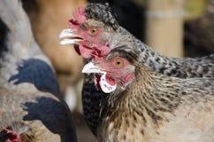 Chickens love yogurt Stock Image