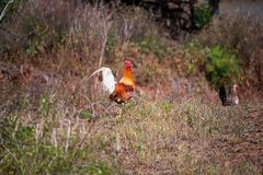 Free-roaming chickens on La Palma royalty free stock image